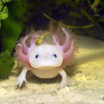 Trendhaustier: Das Axolotl (+English version)
